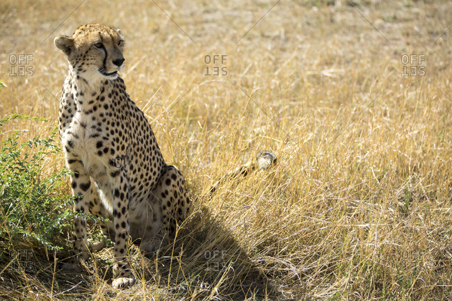 Cheetah sitting on grassy field during sunny day
