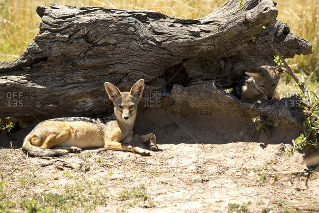 Jackals sitting by weathered wood on field during sunny day
