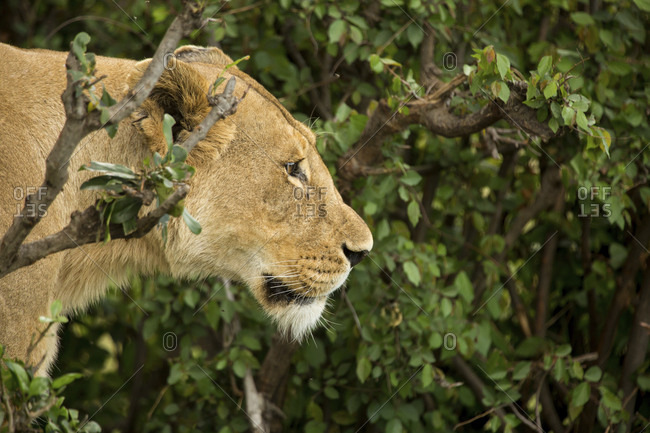 Side view of lioness by plants