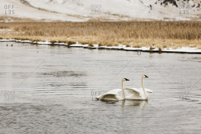 Trumpeter swans swimming in lake during winter