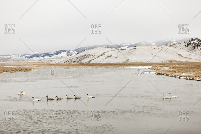 Swans swimming in lake against snowcapped mountains and clear sky during winter