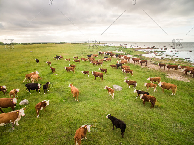 Aerial view of an herd of cows grazing close to the sea in Estonia