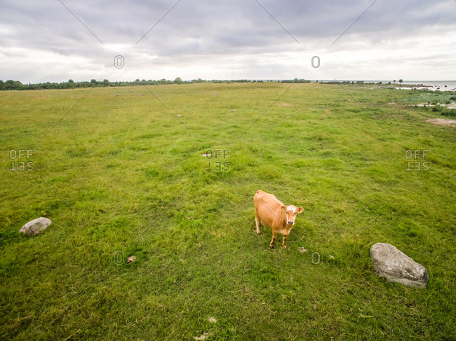 Aerial view of a cow alone in the meadow in Estonia