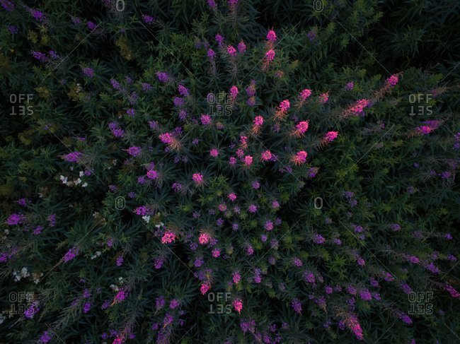 Aerial view of colorful fireweed flowers
