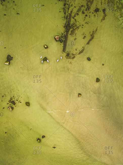 Abstract aerial view of  swans swimming in greenish baltic sea in Estonia