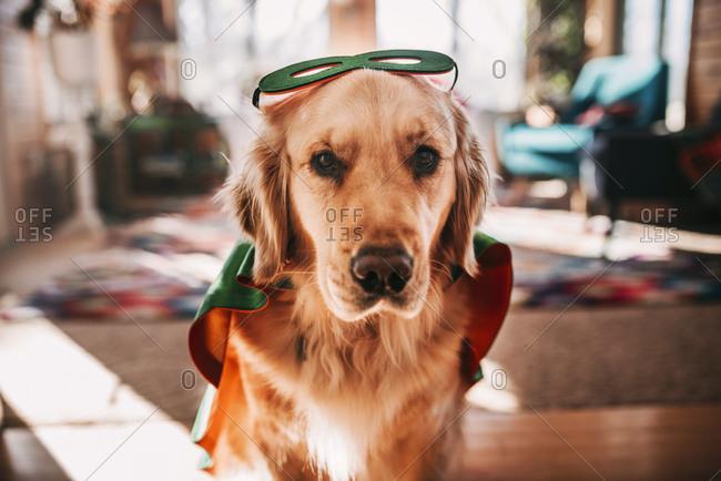 Golden retriever dog dressed as super hero