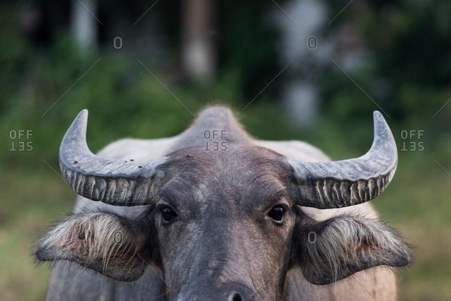 A Thai water buffalo Koh Samui, Thailand