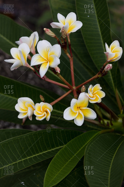 Plumeria flowers in bloom, Koh Samui, Thailand