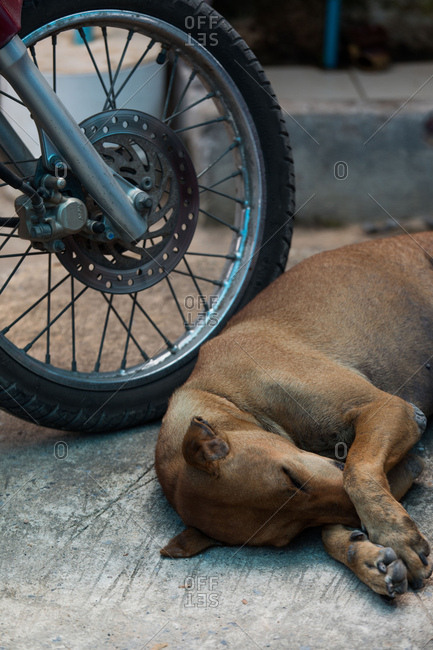 Koh Samui, Thailand - October 7, 2017: A stray dog naps by a bike in Koh Samui, Thailand