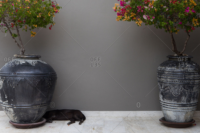 Dog napping by flower pots, Koh Samui, Thailand