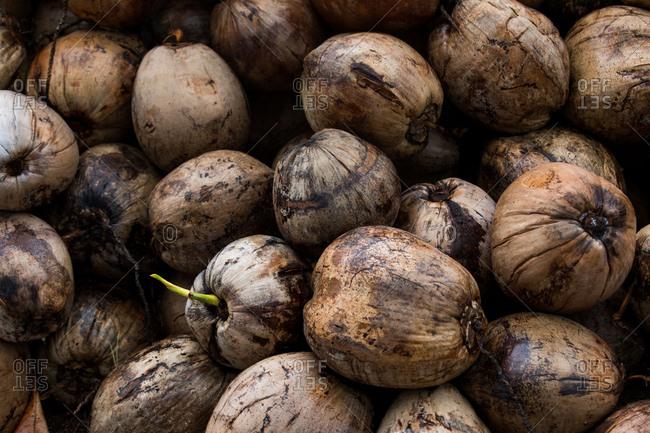 Coconuts in Koh Samui, Thailand