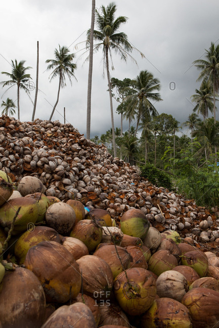 Large piles of coconuts in Koh Samui, Thailand