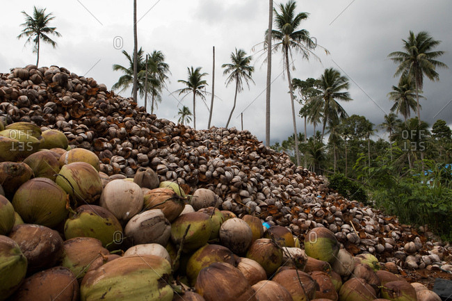 Massive piles of coconuts in Koh Samui, Thailand