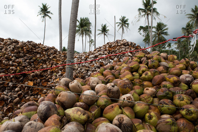 Piles of coconuts in Koh Samui, Thailand