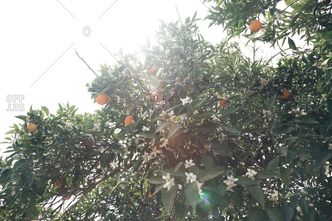 Orange tree with blossoms and oranges