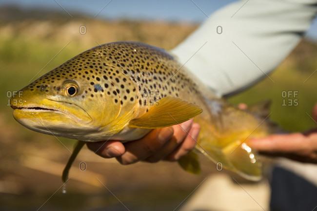 Fisherman holding caught brown trout (Salmo trutta), Green River, Dutch John, Utah, USA