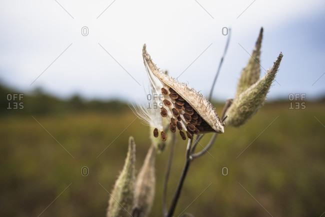 Milkweed ready to spread seeds in autumn