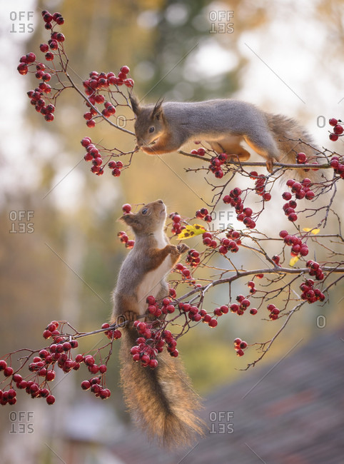 Red squirrels (Sciurus vulgaris) on branches with berries