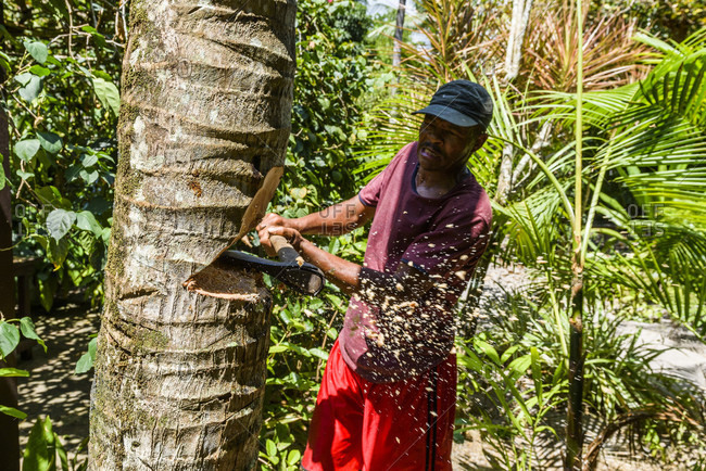 Ilha de Boipeba, Bahia, Brazil - October 26, 2016: Local worker cutting down coconut palm tree in south Bahia, Brazil