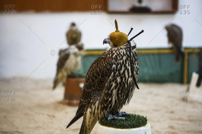 Falcon Souq, Doha, Qatar - August 20, 2017: Falcon at falcon market, Falcon Souk, Doha, Qatar