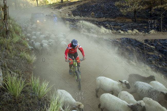 Tenango, State of Mexico, Mexico - April 2, 2016: Biker riding in dust between flock of moving sheep, Tenango, State of Mexico, Mexico