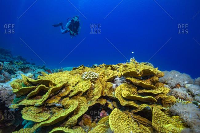 Egypt- Red Sea- Hurghada- scuba diver over yellow waver coral