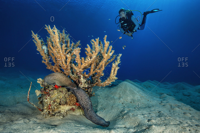 Egypt- Red Sea- Hurghada- scuba diver and giant moray