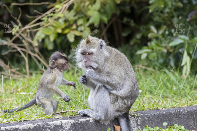 Mauritius- Black River Gorges National Park- long-tailed macaque- long-tailed macaques- mother with young animal