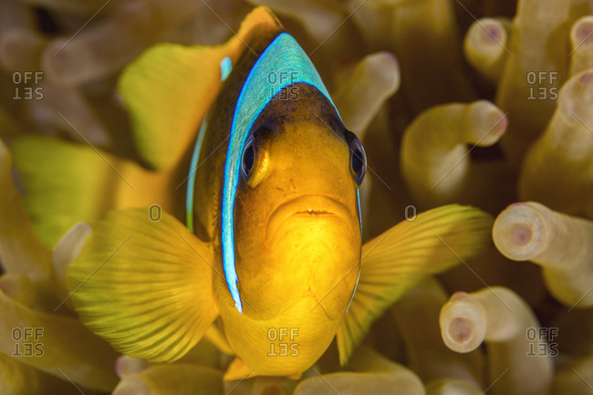 Egypt- Red Sea- Hurghada- red sea anemonefish