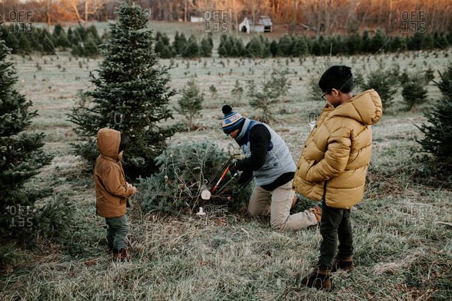Boys watch dad trimming Christmas tree they have chosen at tree farm