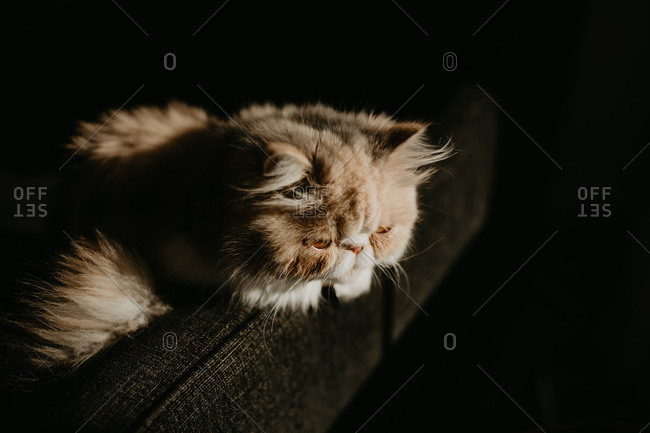 Exotic shorthair cat watchfully idling on couch
