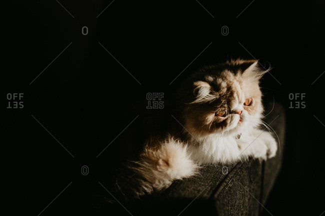 Exotic shorthair cat idling in sun on couch