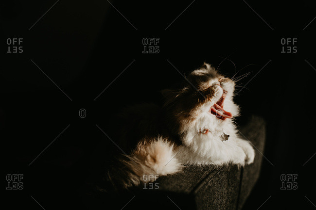 Exotic shorthair cat yawning in sun on couch