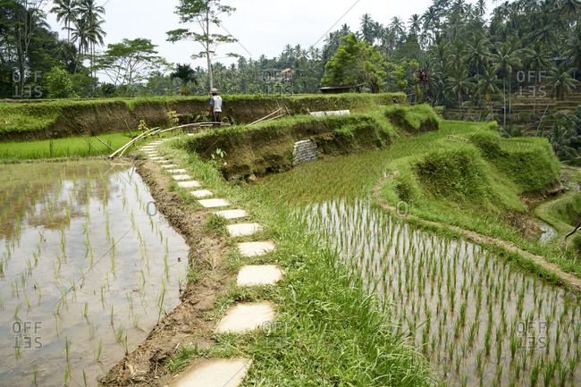 Rice farmer inspecting one of his terraced paddy fields