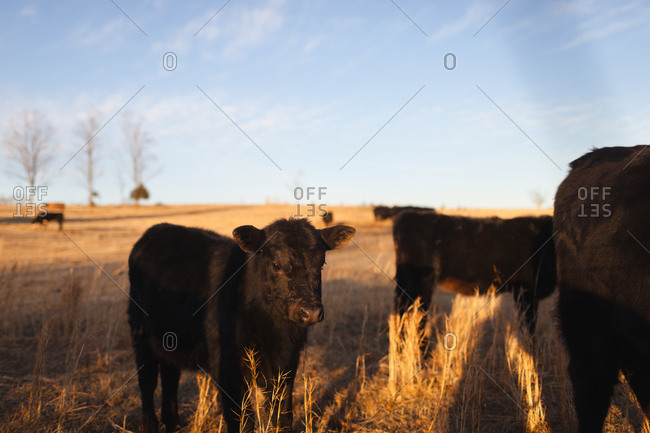 Small calf standing with herd in field