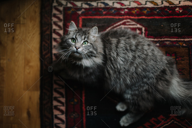 Fluffy wide-eyed cat staring up from floor rug