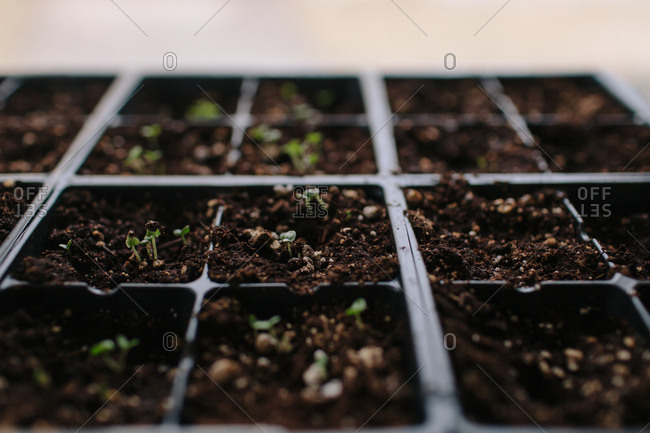 Tray of tiny seedlings sprouting from soil