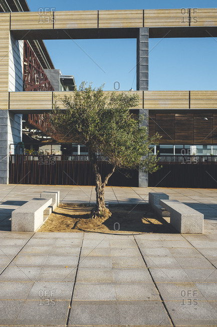 Olive tree growing in middle of commercial courtyard