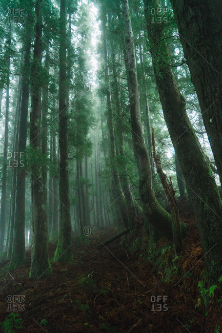 View to green forest with tall trees in foggy day