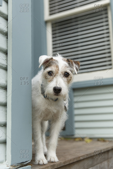Jack Russell Terrier waiting on the porch expectantly