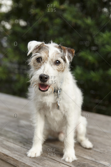 Jack Russell Terrier sitting on deck expectantly