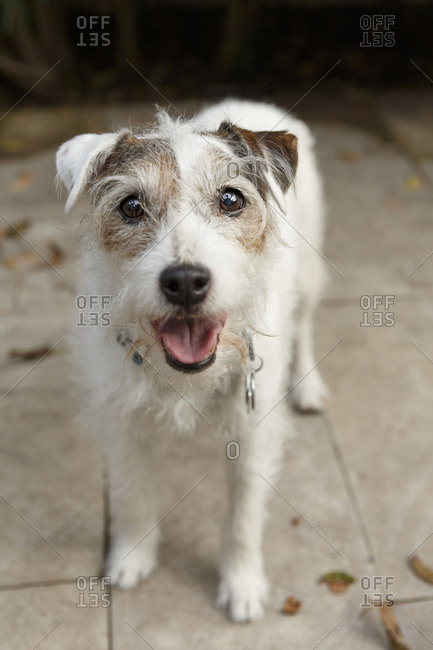 Portrait of Jack Russell Terrier standing looking up
