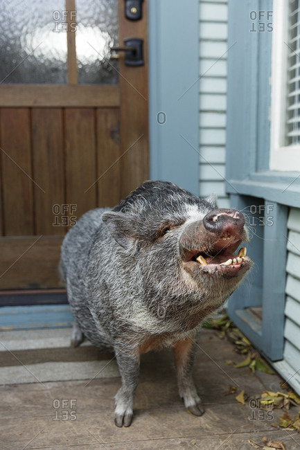 Pet Pot Bellied Pig waiting on porch for owner