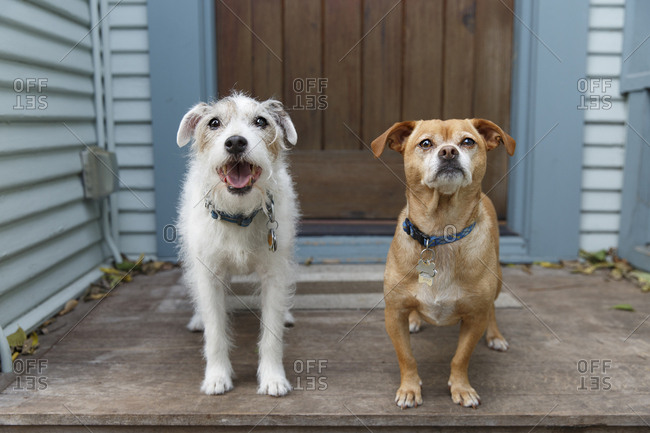 Jack Russell Terrier and mixed breed dog waiting side by side on the doorstep expectantly