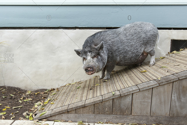Pet Pot Bellied Pig walking down ramp from house