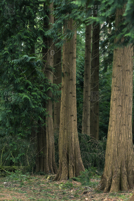 Huge tree trunks of pine trees in a forest