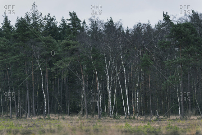 Pine forest with white birch tree trunks standing out