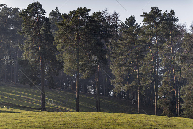 Pine forest in hilly landscape lit by low sunlight