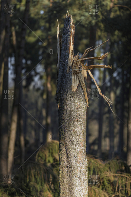Broken tree trunk in pine forest lit by low sun