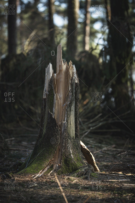 Stump of broken tree trunk in forest